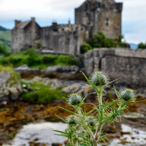 thistle at castle